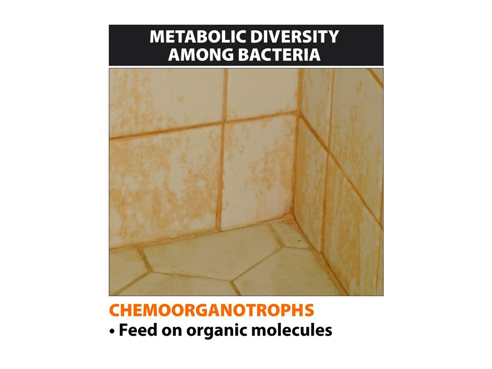 Chemical organic feeders (chemoorganotrophs) are bacteria that consume organic molecules, such as carbohydrates. You probably see the products of organic feeders every time you take a shower—they are responsible for the pink deposits on the shower curtain and the floor of the shower (Figure 13-10 part 1 Resourceful feeders). Most of the bacteria that live in and on your body are also organic feeders—some compete with you to metabolize the food you eat. Others digest things you can t eat.