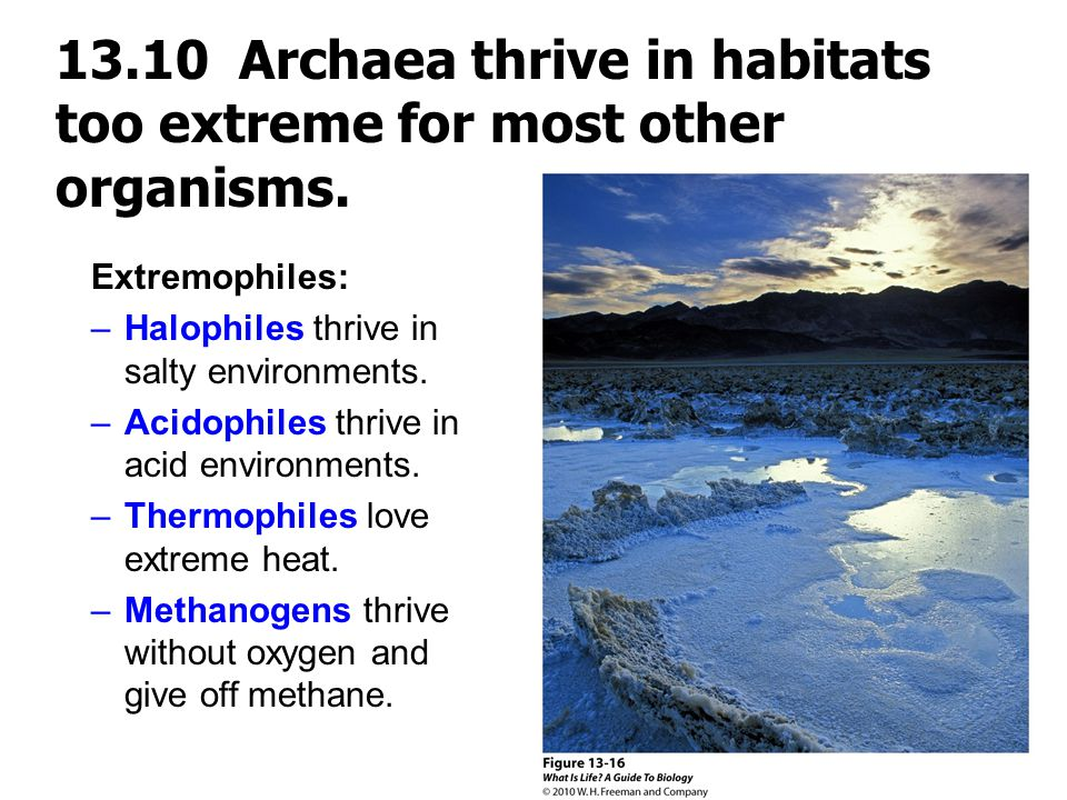 13.10 Archaea thrive in habitats too extreme for most other organisms.