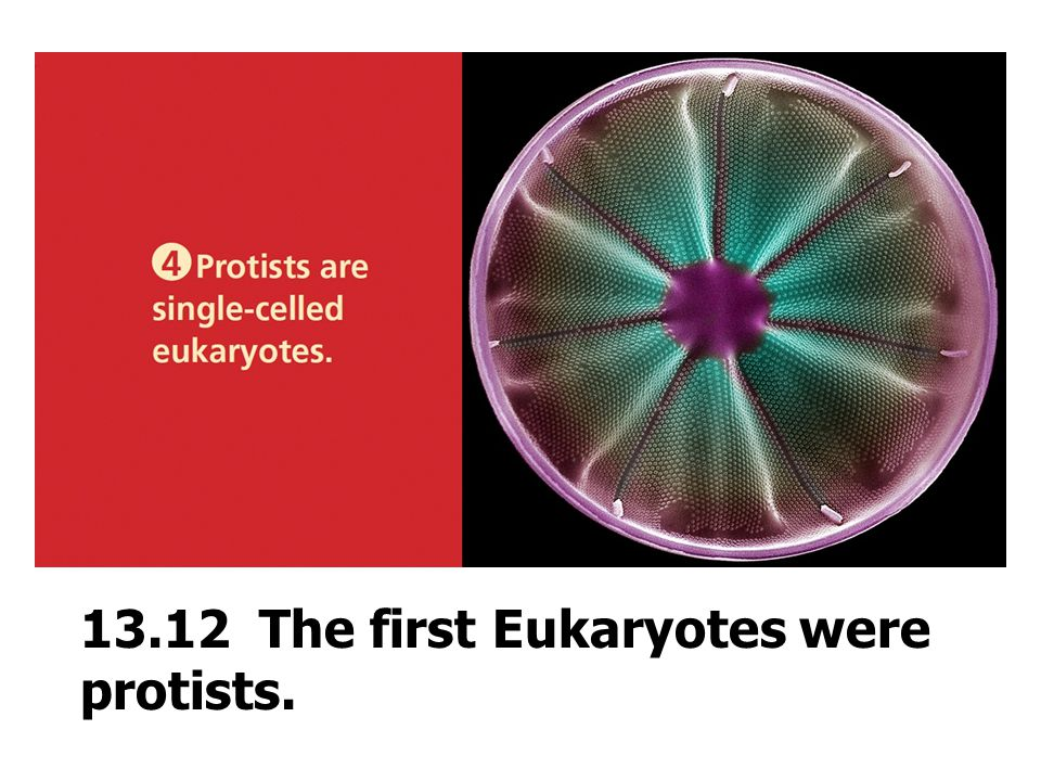 13.12 The first Eukaryotes were protists.
