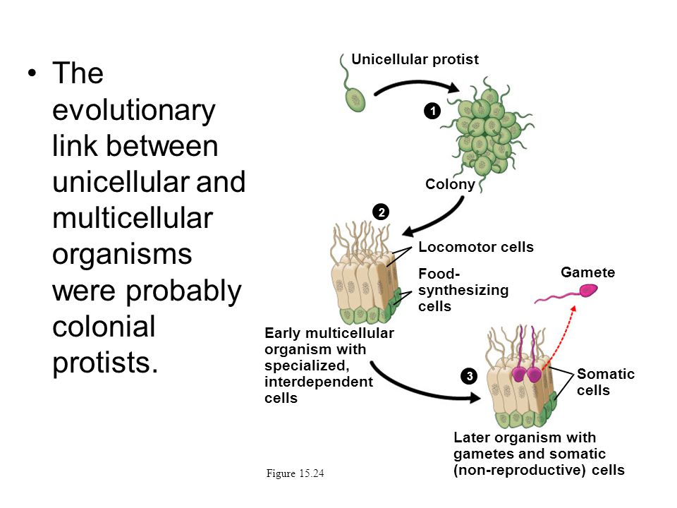 The evolutionary link between unicellular and multicellular organisms were probably colonial protists.