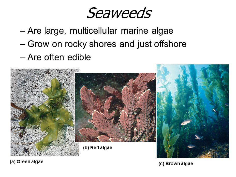 Seaweeds Are large, multicellular marine algae