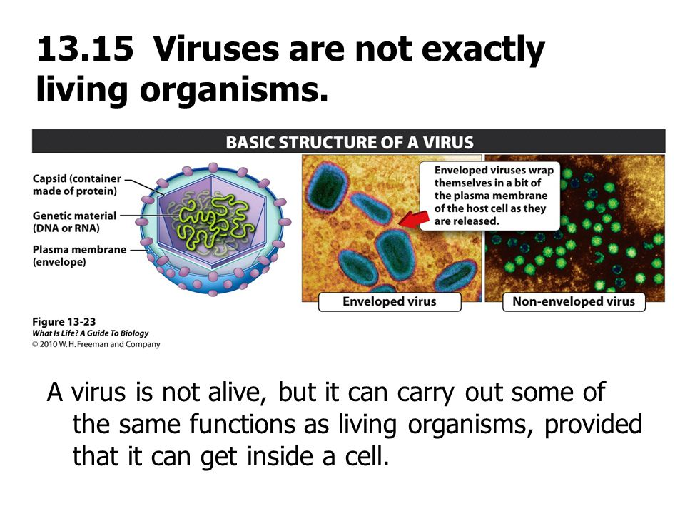 13.15 Viruses are not exactly living organisms.