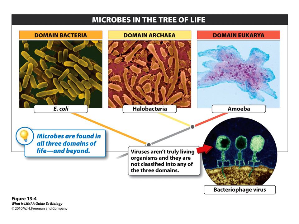 The sloppiness of the name microbes stems from the fact that microbes are not all evolutionarily related. As a consequence, it is hard to make generalizations about them as we can for other organisms. We can say of all animals, for example, that they have the ability to move, if only during one portion of their life cycle. Microbes, on the other hand, are grouped together simply because they are small, not because they all share a recent common ancestor. In fact, however, microbes occur in all three domains of life—Bacteria, Archaea, and Eukarya—and therefore could not be more widely separated (Figure 13-4 Microbes are highly diverse).