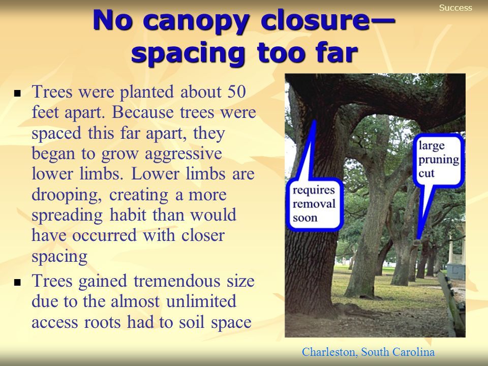 No canopy closure— spacing too far