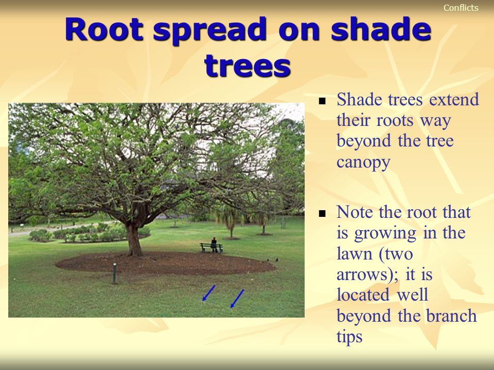 Root spread on shade trees