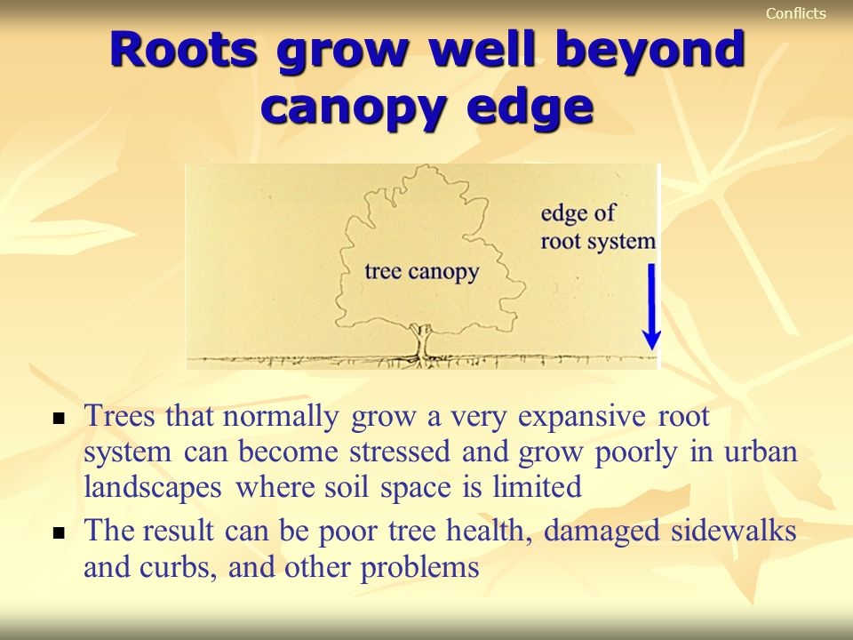 Roots grow well beyond canopy edge