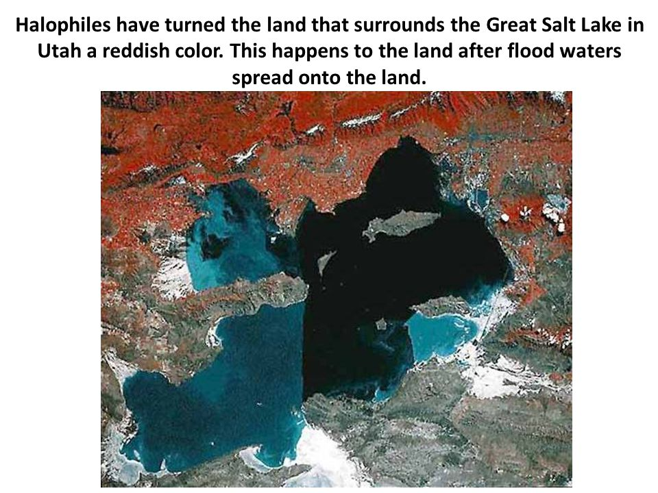 Halophiles have turned the land that surrounds the Great Salt Lake in Utah a reddish color.
