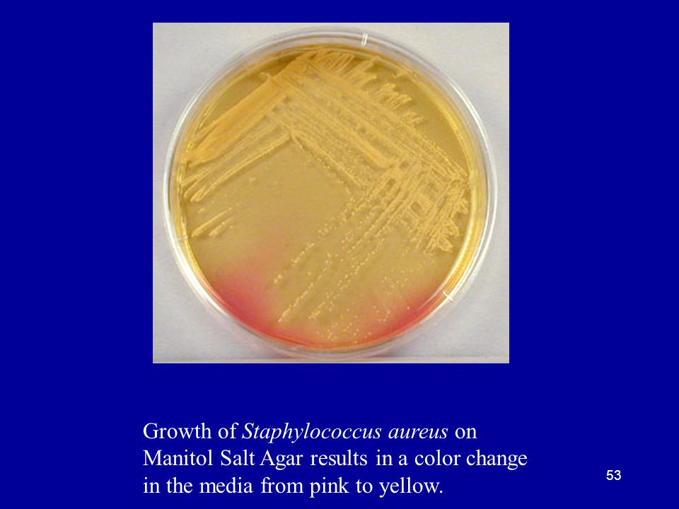 Growth of Staphylococcus aureus on Manitol Salt Agar results in a color change in the media from pink to yellow.