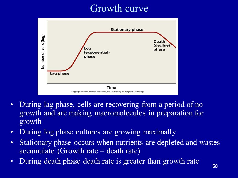 Growth curve During lag phase, cells are recovering from a period of no growth and are making macromolecules in preparation for growth.