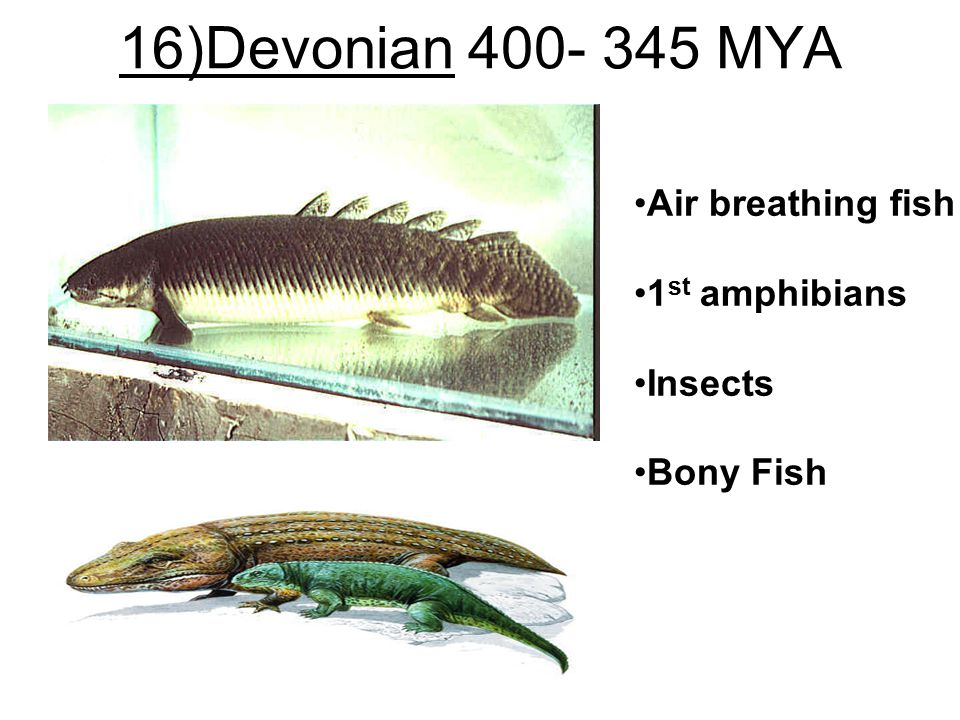16)Devonian 400- 345 MYA Air breathing fish 1st amphibians Insects