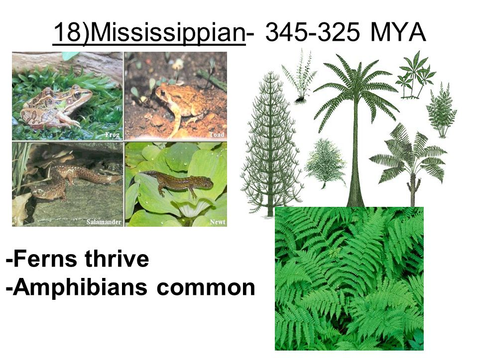 18)Mississippian- 345-325 MYA -Ferns thrive -Amphibians common