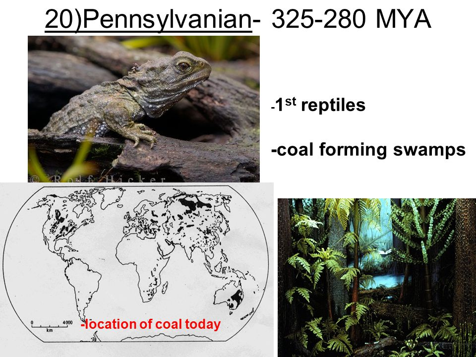20)Pennsylvanian- 325-280 MYA -coal forming swamps