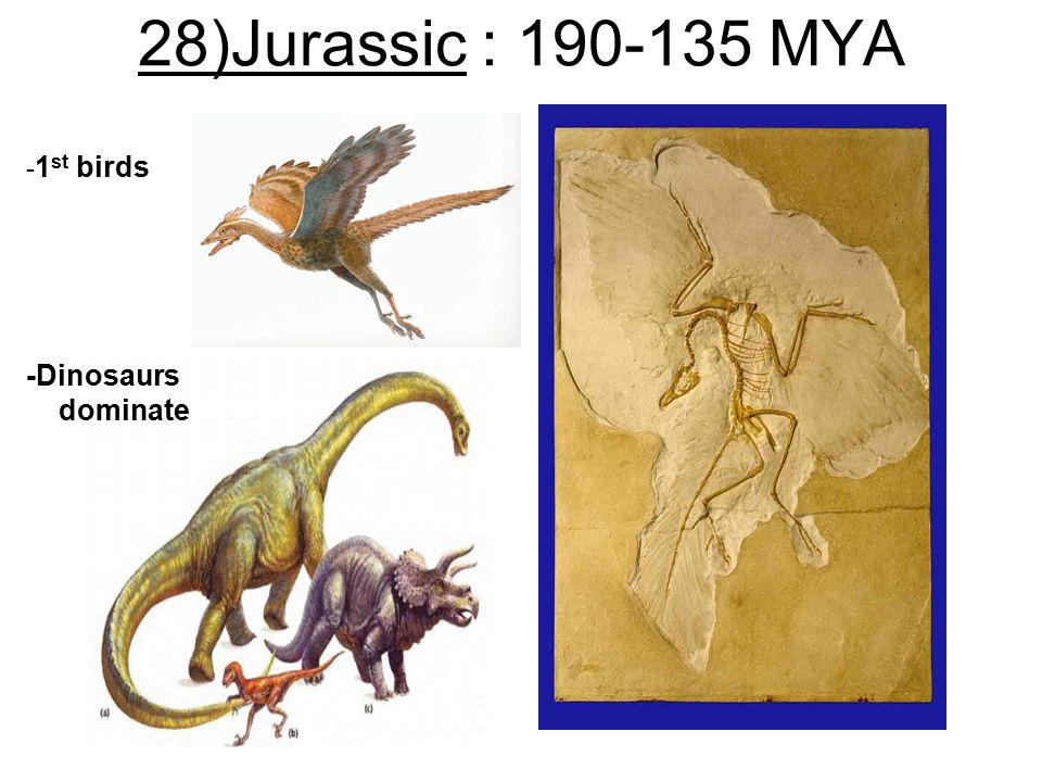 28)Jurassic : 190-135 MYA -1st birds -Dinosaurs dominate