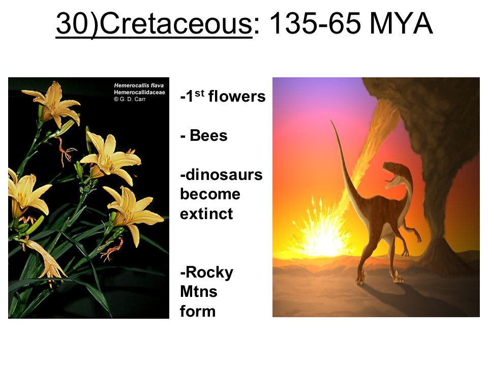 30)Cretaceous: 135-65 MYA -1st flowers - Bees -dinosaurs become