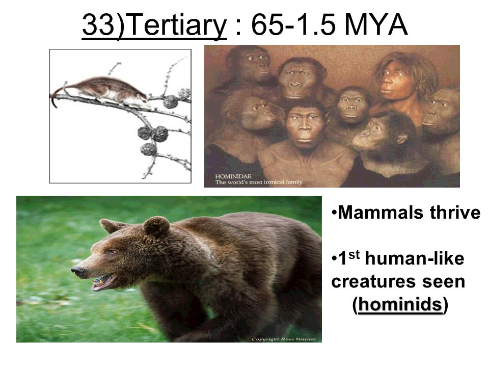 33)Tertiary : 65-1.5 MYA Mammals thrive 1st human-like creatures seen