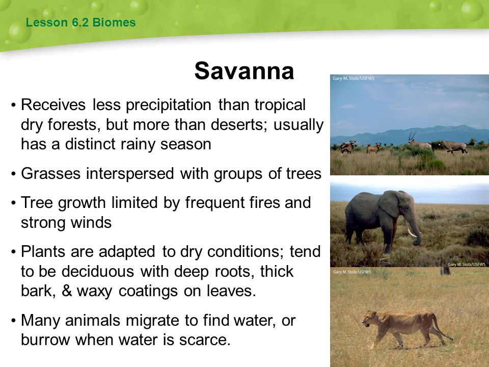 Lesson 6.2 Biomes Savanna. Receives less precipitation than tropical dry forests, but more than deserts; usually has a distinct rainy season.