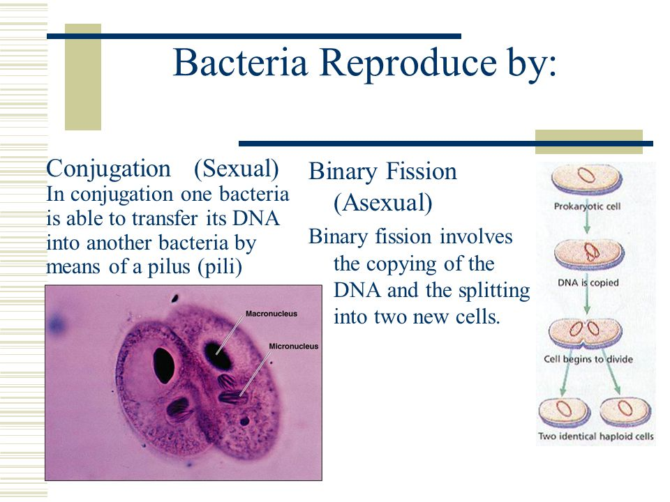 Bacteria Reproduce by:
