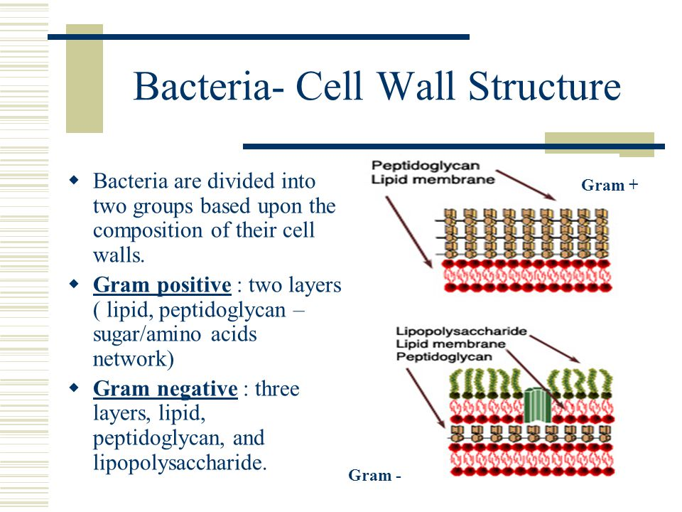 Bacteria- Cell Wall Structure