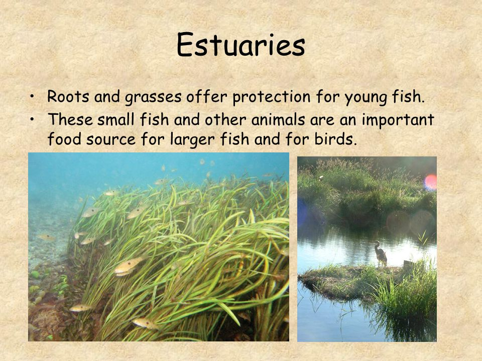 Estuaries Roots and grasses offer protection for young fish.