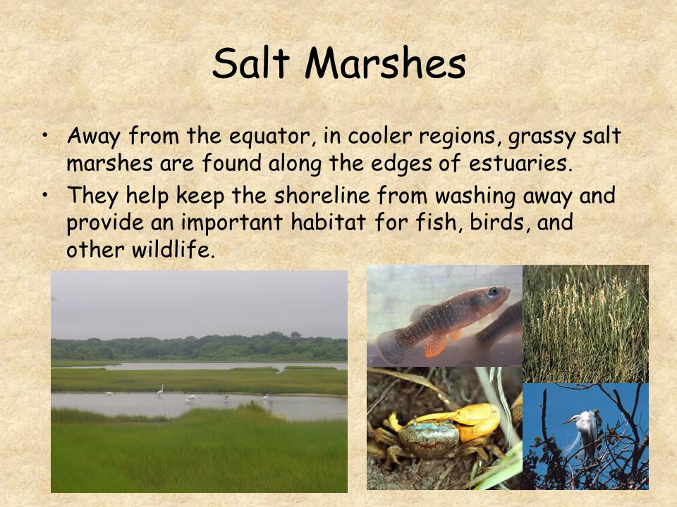 Salt Marshes Away from the equator, in cooler regions, grassy salt marshes are found along the edges of estuaries.