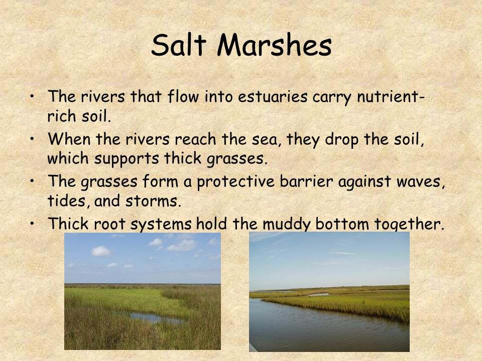 Salt Marshes The rivers that flow into estuaries carry nutrient-rich soil.
