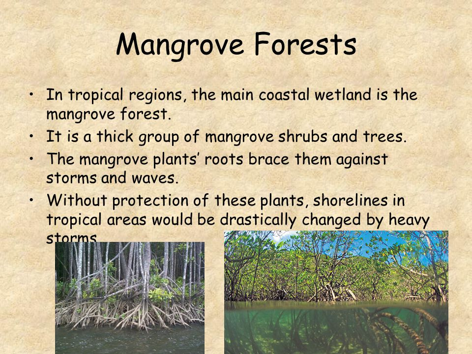 Mangrove Forests In tropical regions, the main coastal wetland is the mangrove forest. It is a thick group of mangrove shrubs and trees.