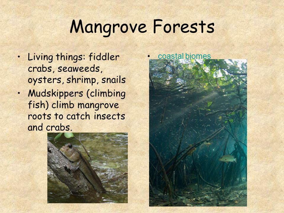 Mangrove Forests Living things: fiddler crabs, seaweeds, oysters, shrimp, snails.