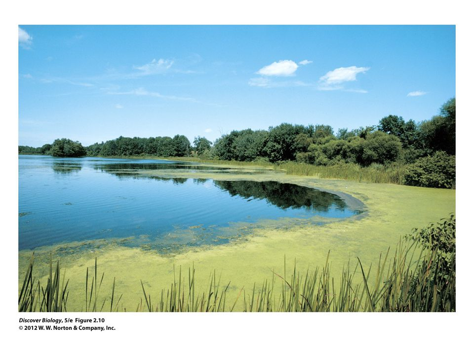 Figure 2.10 Pond Scum Contains Bacteria That Photosynthesize