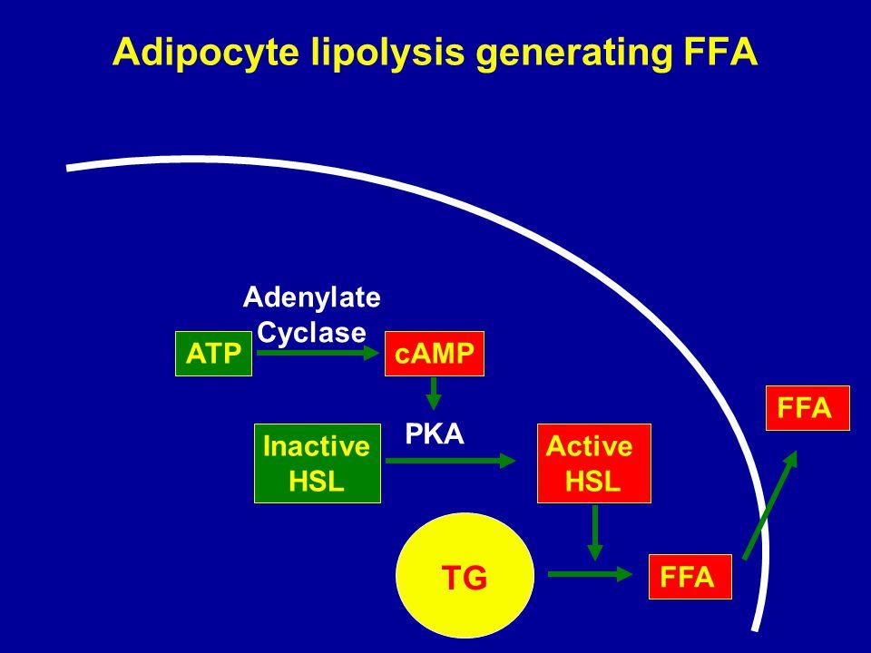 Adipocyte lipolysis generating FFA
