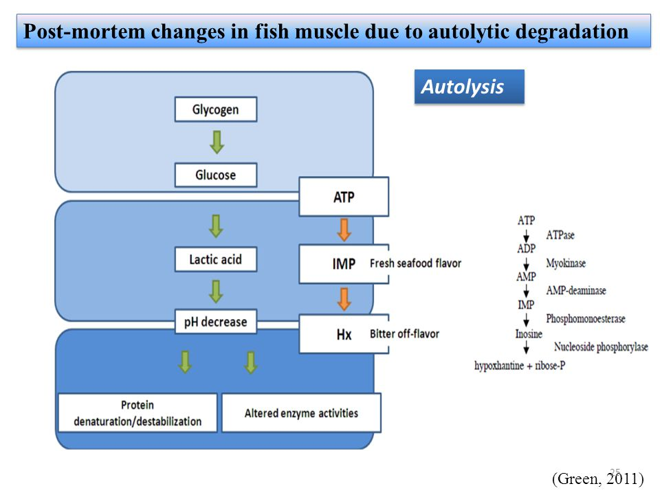 Post-mortem changes in fish muscle due to autolytic degradation