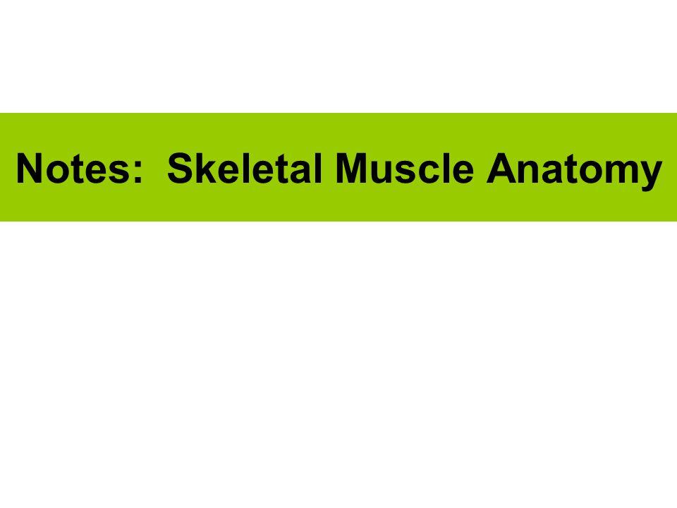 Notes: Skeletal Muscle Anatomy
