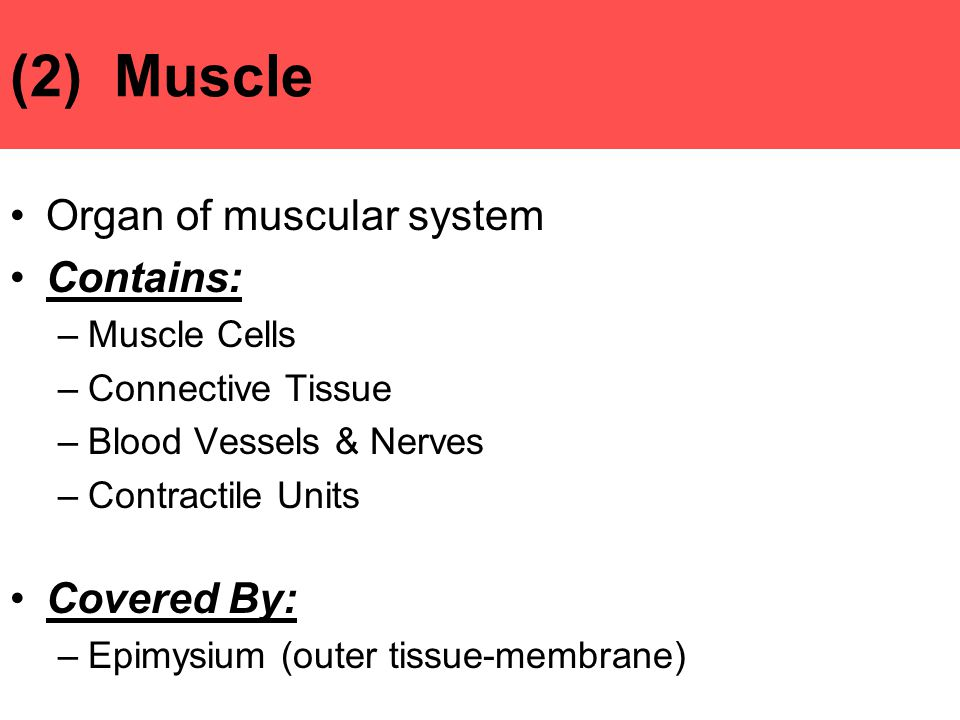 (2) Muscle Organ of muscular system Contains: Covered By: Muscle Cells