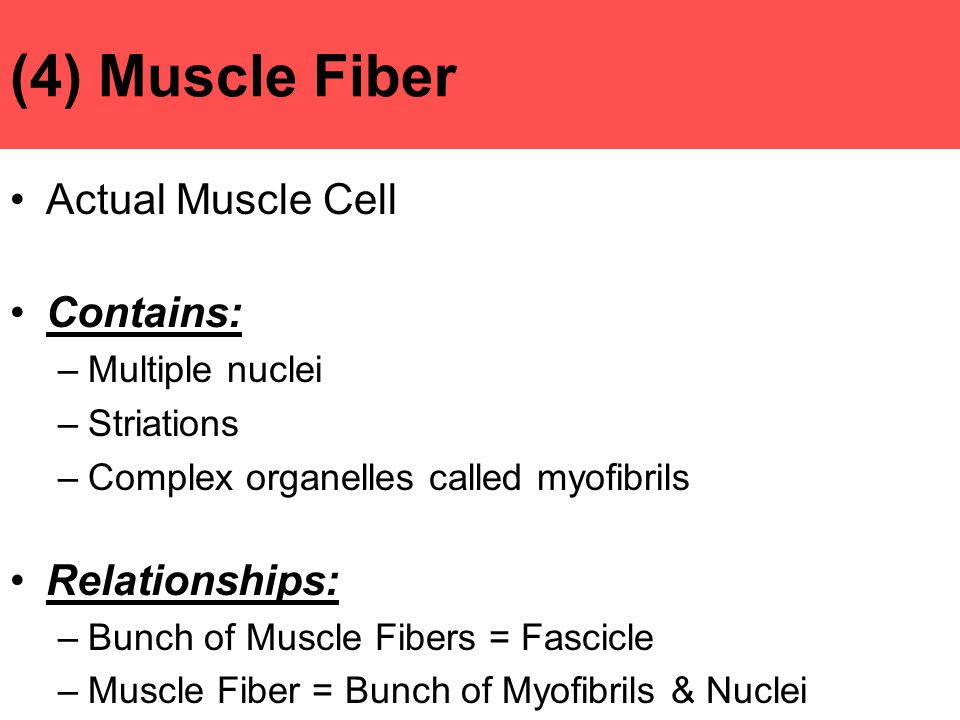 (4) Muscle Fiber Actual Muscle Cell Contains: Relationships: