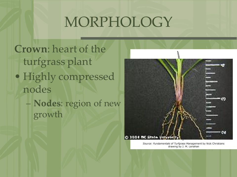 MORPHOLOGY Crown: heart of the turfgrass plant Highly compressed nodes