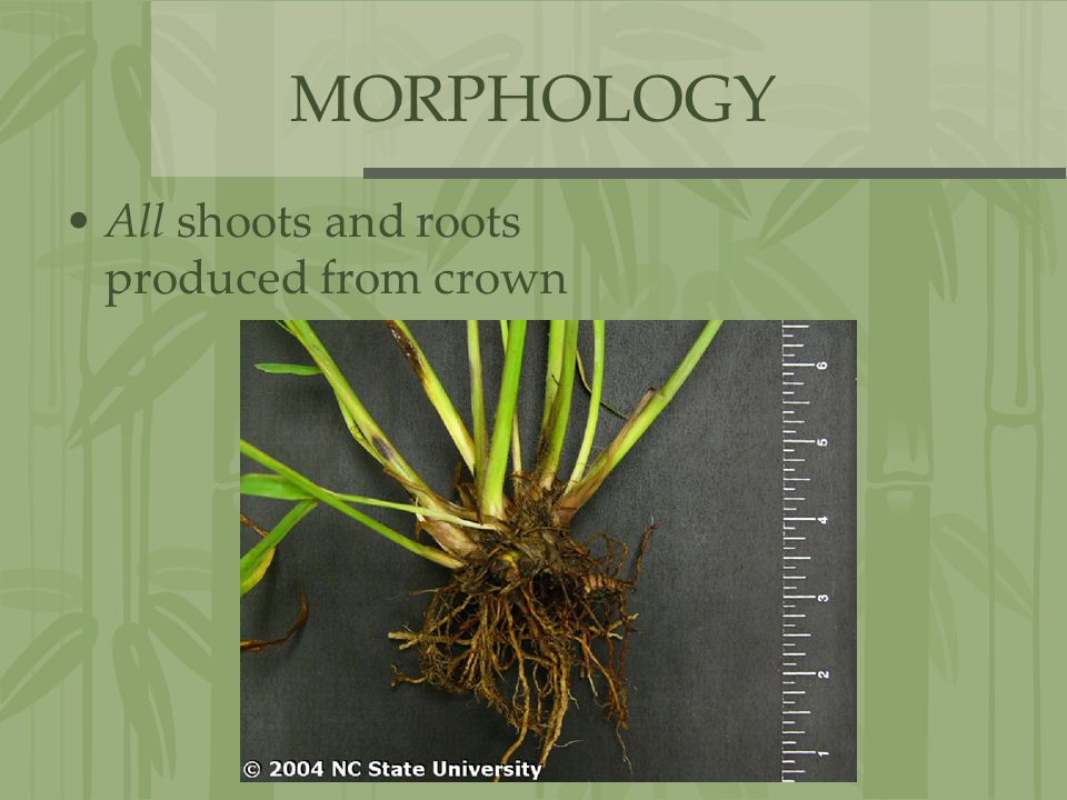 MORPHOLOGY All shoots and roots produced from crown