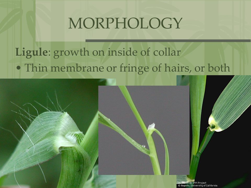 MORPHOLOGY Ligule: growth on inside of collar