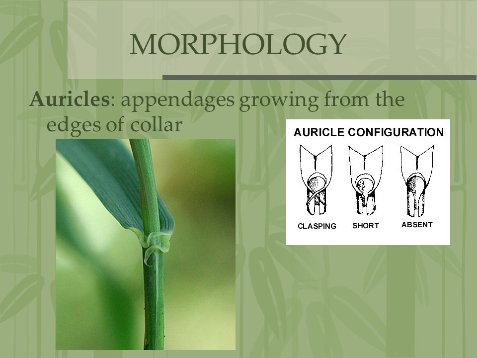 MORPHOLOGY Auricles: appendages growing from the edges of collar
