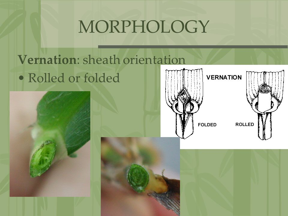 MORPHOLOGY Vernation: sheath orientation Rolled or folded