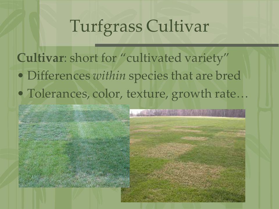 Turfgrass Cultivar Cultivar: short for cultivated variety