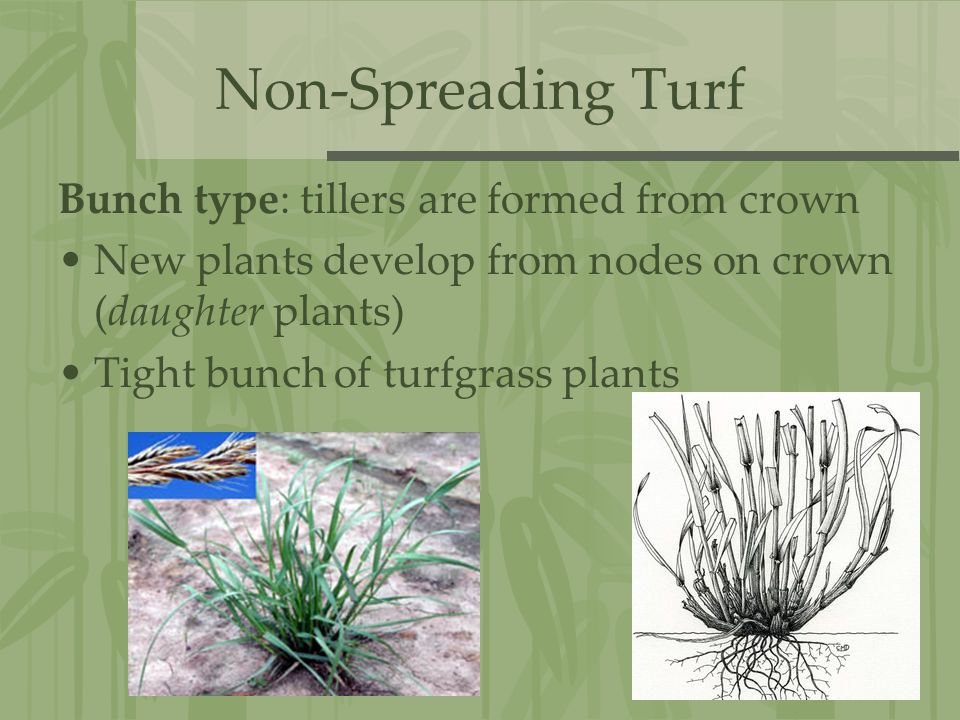 Non-Spreading Turf Bunch type: tillers are formed from crown