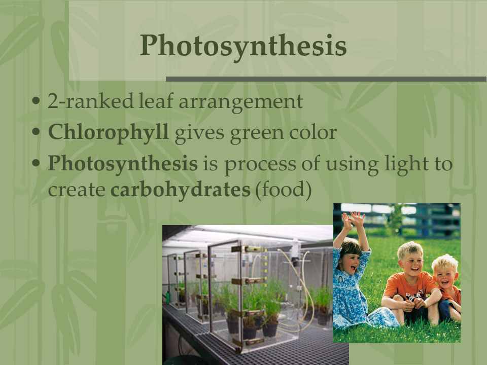 Photosynthesis 2-ranked leaf arrangement Chlorophyll gives green color