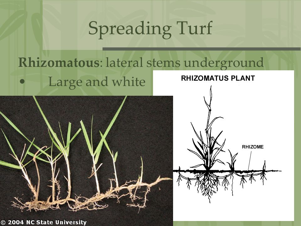 Spreading Turf Rhizomatous: lateral stems underground Large and white