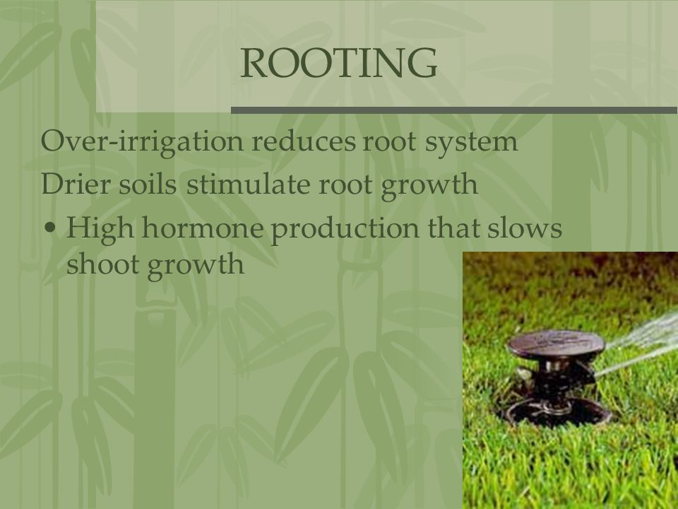 ROOTING Over-irrigation reduces root system