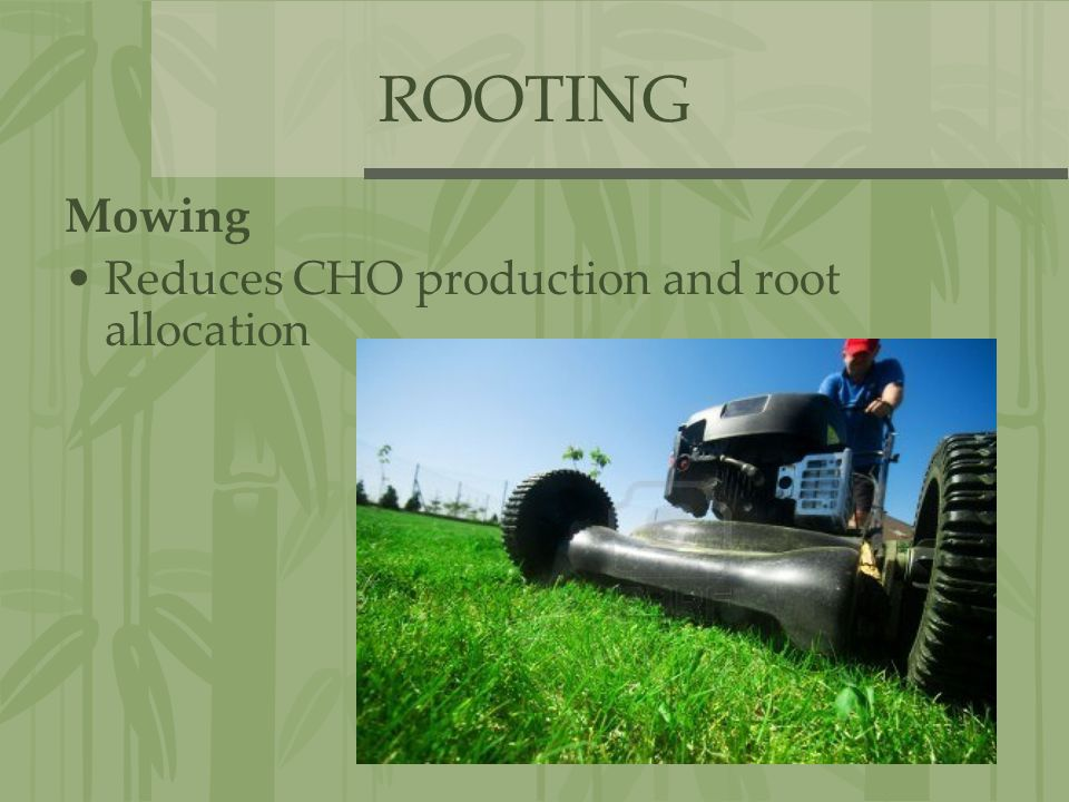 ROOTING Mowing Reduces CHO production and root allocation
