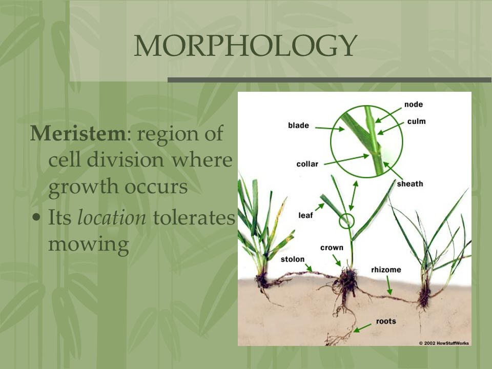 MORPHOLOGY Meristem: region of cell division where growth occurs