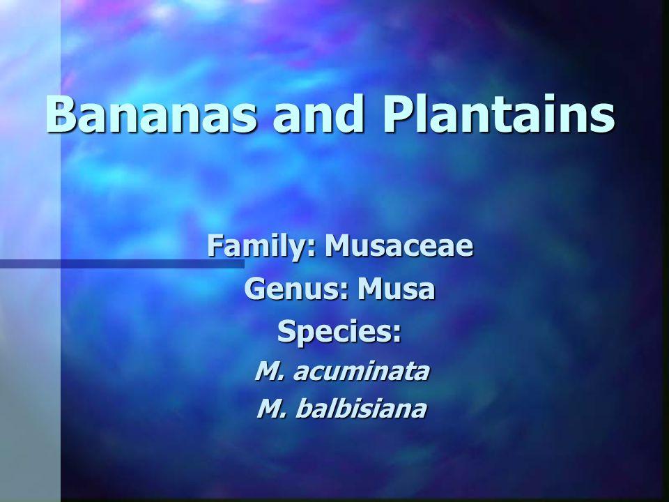 Family: Musaceae Genus: Musa Species: M. acuminata M. balbisiana