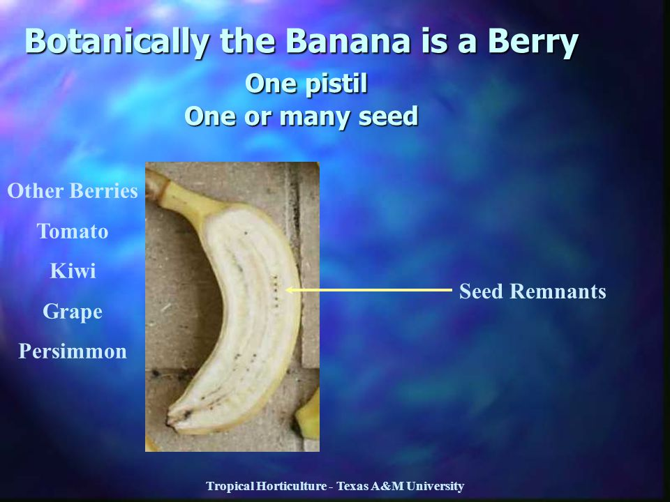 Botanically the Banana is a Berry One pistil One or many seed