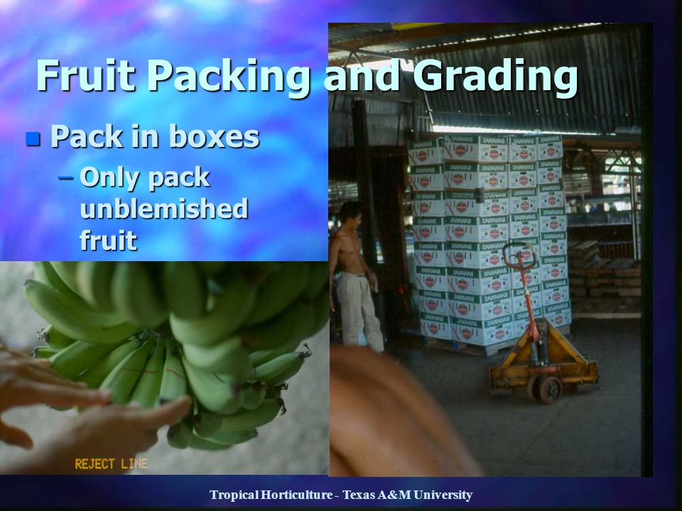 Fruit Packing and Grading