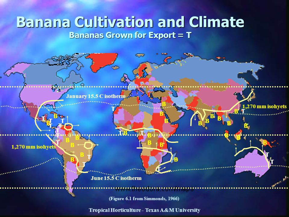 Banana Cultivation and Climate Bananas Grown for Export = T