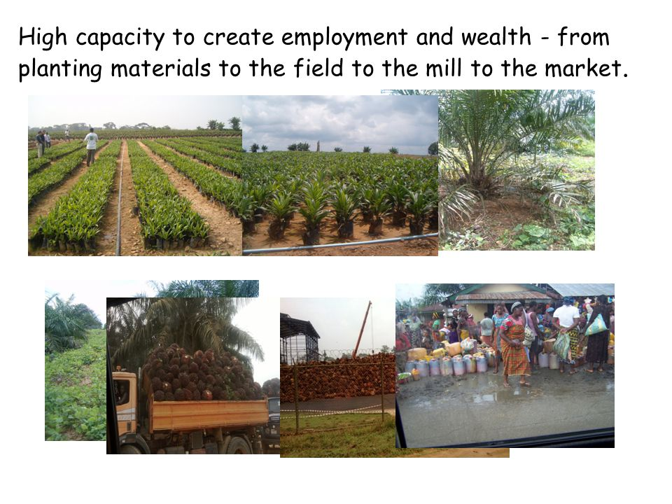 High capacity to create employment and wealth - from planting materials to the field to the mill to the market.